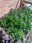 Parsley and Coriander Patch