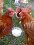 Chickens love porridge