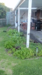 Our old patio garden bed- full of veg