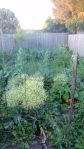 Brassicas Gone to Seed
