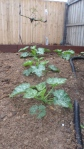 Zucchini & Pumpkin -grown 30cms in 1 week!