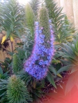 My favourite: Echiums are back!