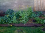 The overgrown side- wongbok shooting to seed, kale & beetroot